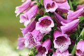 Common Foxglove flowers