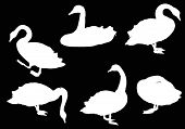 picture of black swan  - illustration with six swans isolated on black background - JPG