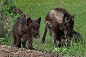 Black Wolf Pup (canis Lupus) With Mother In Background