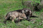 pic of licking  - Grey Wolf Pup  - JPG