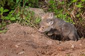 Red Fox Kit (vulpes Vulpes) Springs Out Of Den