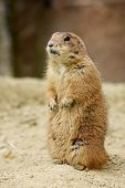 pic of zoo  - Gopher standing and looking around in the zoo - JPG