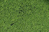 Common duckweed (Lemna minor). Full frame texture.