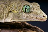 stock photo of giant lizard  - The Halmahera giant gecko is a heavily build nocturnal predator endemic to the Indonesian island of Halmahera.