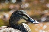 Mallard Duck Close-up