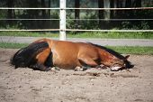 Brown Horse Rolling On The Ground
