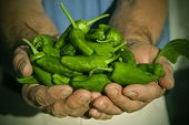 hands with padron peppers