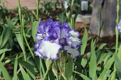 picture of purple iris  - Purple and white iris blooming in the spring - JPG