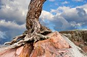 foto of conifers  - Trunk and root of ancient conifer tree growing on big rock with blue sky in background - JPG