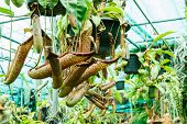 stock photo of nepenthes  - Abstract Nepenthes in garden macro shot image - JPG