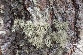 foto of lichenes  - green lichen on tree bark close up - JPG