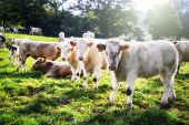 pic of calves  - Herd of young calves looking at camera - JPG