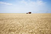 pic of combine  - Combines working on a wheat field - JPG
