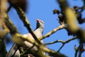 stock photo of pigeon  - A Wood Pigeon peering down from a tree - JPG