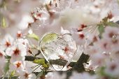 picture of glass heart  - glass clear heart in Spring with blossom cherry flower sakura - JPG