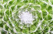 picture of cobweb  - A Close up shot of cobweb houseleek - JPG