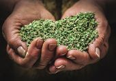 stock photo of oregano  - fragrant oregano grown and dried in the hands of a peasant - JPG