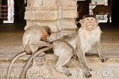 image of monkeys  - Monkey being groomed by a younger monkey Hampi India - JPG