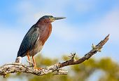 pic of florida-orange  - A green heron Butorides virescens perches on a branch at JN  - JPG