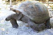 foto of tortoise  - Aldabra giant tortoise in island Curieuse - JPG