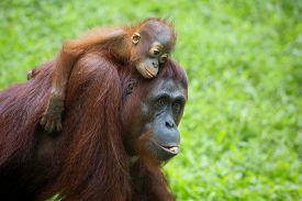 pic of orangutan  - Orangutan in the jungle of Borneo - JPG