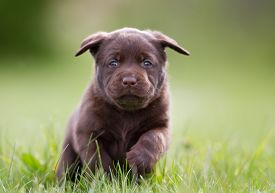 picture of labrador  - Young puppy of brown labrador retriever dog photographed outdoors on grass in garden. ** Note: Shallow depth of field - JPG