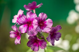 picture of rare flowers  - Purple and pink rare colored phlox flower  - JPG