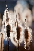 Top of cattail plants (bulrush, reedmace), in back-light