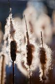 Top of cattail plants (bulrush, reedmace), in back-light