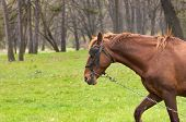 One brown horse with chain on the green grass.
