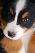 Close-up of puppy Bernese mountain dog