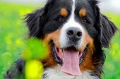 Bernese Mountain Dog portrait in flowers scenery