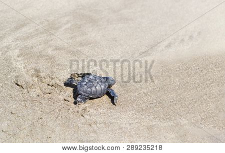 A Small Sea Turtle Crawling