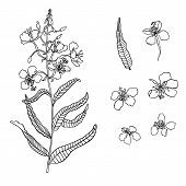 Vector Willow Herb, Fireweed Flower In Ink. Hand Drawn Botany Illustration For Print, Invitation Car poster
