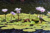 Purple Lotus Flowers On A Lilly Pond
