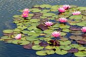Pink Lotus Flowers On Water Lillies