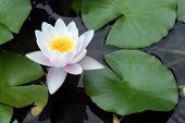 White and pink Lotus Water Lillies