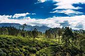 Large Tea Plantation. Green Tea In Mountains. Nature Of Sri Lanka. Tea In Sri Lanka. The Cultivation poster