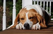 pic of droopy  - A sleeping dog lays on the porch of a house in the summer sun - JPG