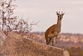 One Klipspringer Standing On A Rock