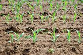 healthy young maize plants on the field
