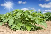 Potatoes on the field with sun and sky in the background