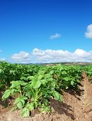 Green potato field against blue sky