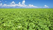 a Beautiful potato field with clouds and sky