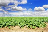 a Potato field with sky and clouds