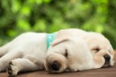 Cute labrador puppy dogs sleeping on wooden surface - lying side by side, close up poster