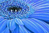 Antecedentes de cerca de una Margarita de Gerbera azul