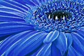 Nahaufnahme von einem blauen Daisy gerbera