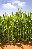 Beautiful green maize on the field