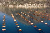 Longline Culture ( Rope Culture ) Mussel Farm.  Montenegro, Adriatic Sea, Bay Of Kotor, View Of The  poster